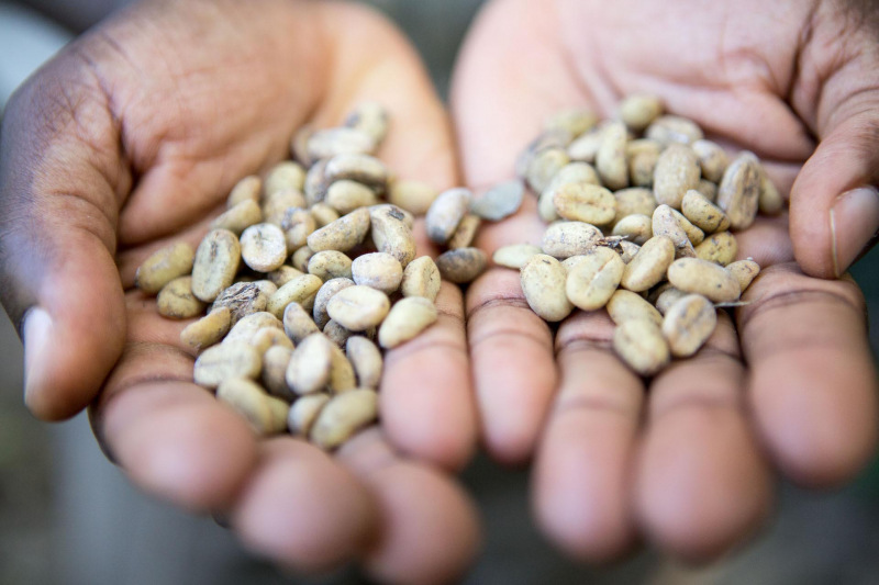 Unroasted coffee beans, fresh from the plantation